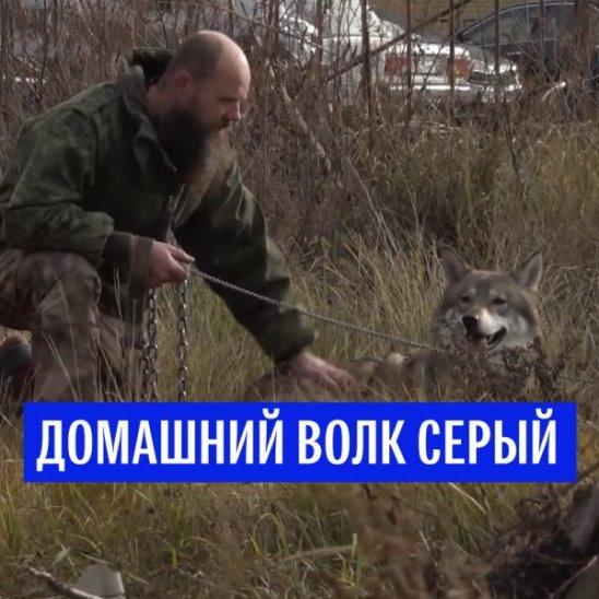 Домашний волк Серый