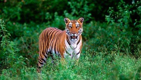 Тигры обочечники с Дальнего Востока!