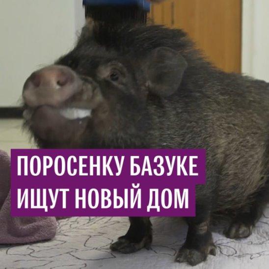 Черная свинка Базука