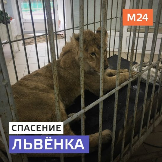 Спасение львёнка