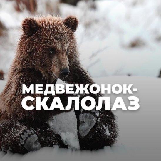 Медвежонок-скалолаз