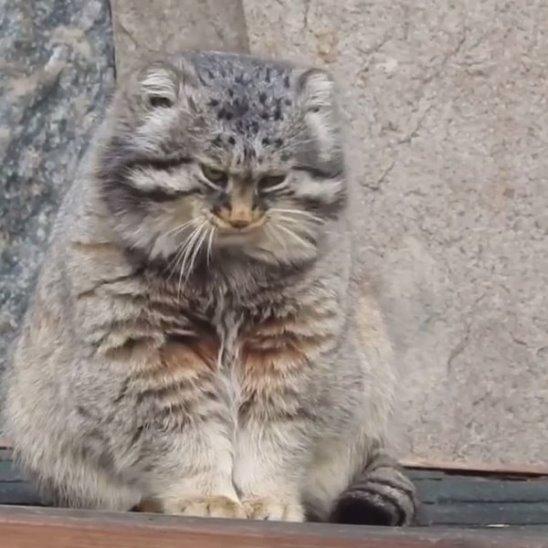 Дикие кошки из Московского зоопарка