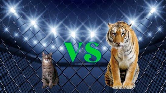 Кот против Тигра