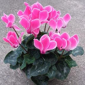 цветы фото комнатные фото
