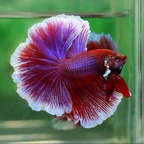 рыбки петушки картинки