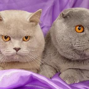 коты британские фотографии