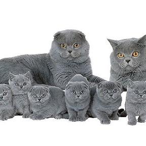 кошки британские фото
