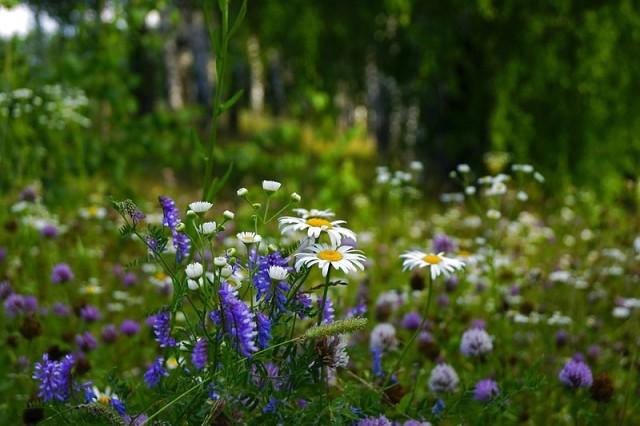 Стихи полевые цветы полевые васильки и ромашки в лугах