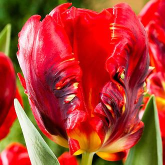 Тюльпан Попугайный Rococo - купить в Киеве с доставкой по Украине ... | 330x330