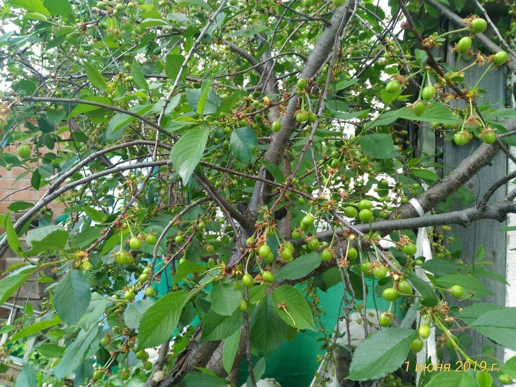Созрели вишни в саду...
