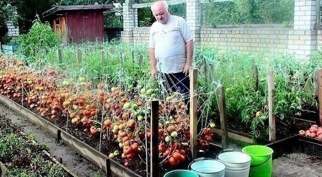 Дедовский рецепт для томатов