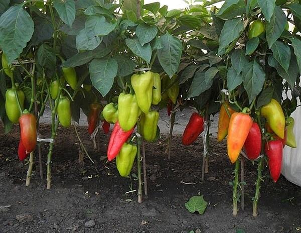 урожайный огород подкормка перцев фото качестве доказательств