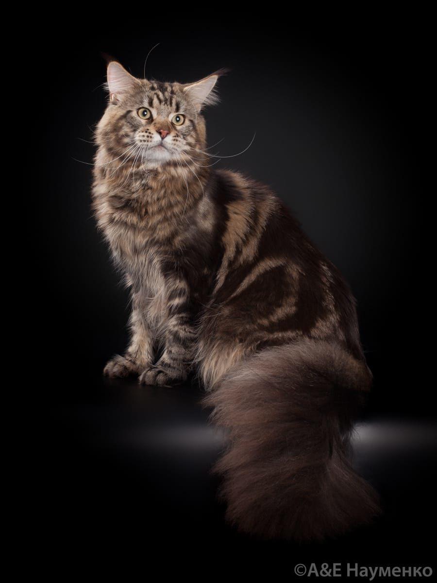 Окрас кошки мейн кун картинки