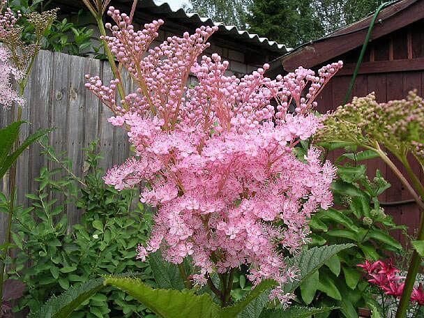 Как правильно сажать многолетние цветы и растения, посадка многолетников.