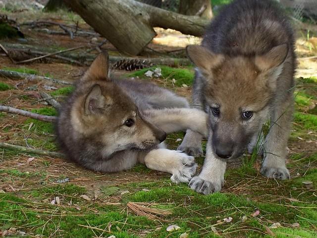 ВОЛК: УБИЙЦА?!   animal life   Яндекс Дзен   480x640