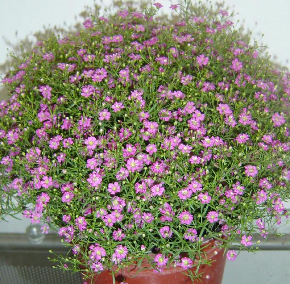 рассада цветов кемерово