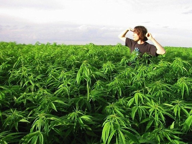 Почему конопля незаконна 2 г марихуаны