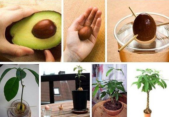 Секреты выращивания авокадо из косточки в домашних условиях