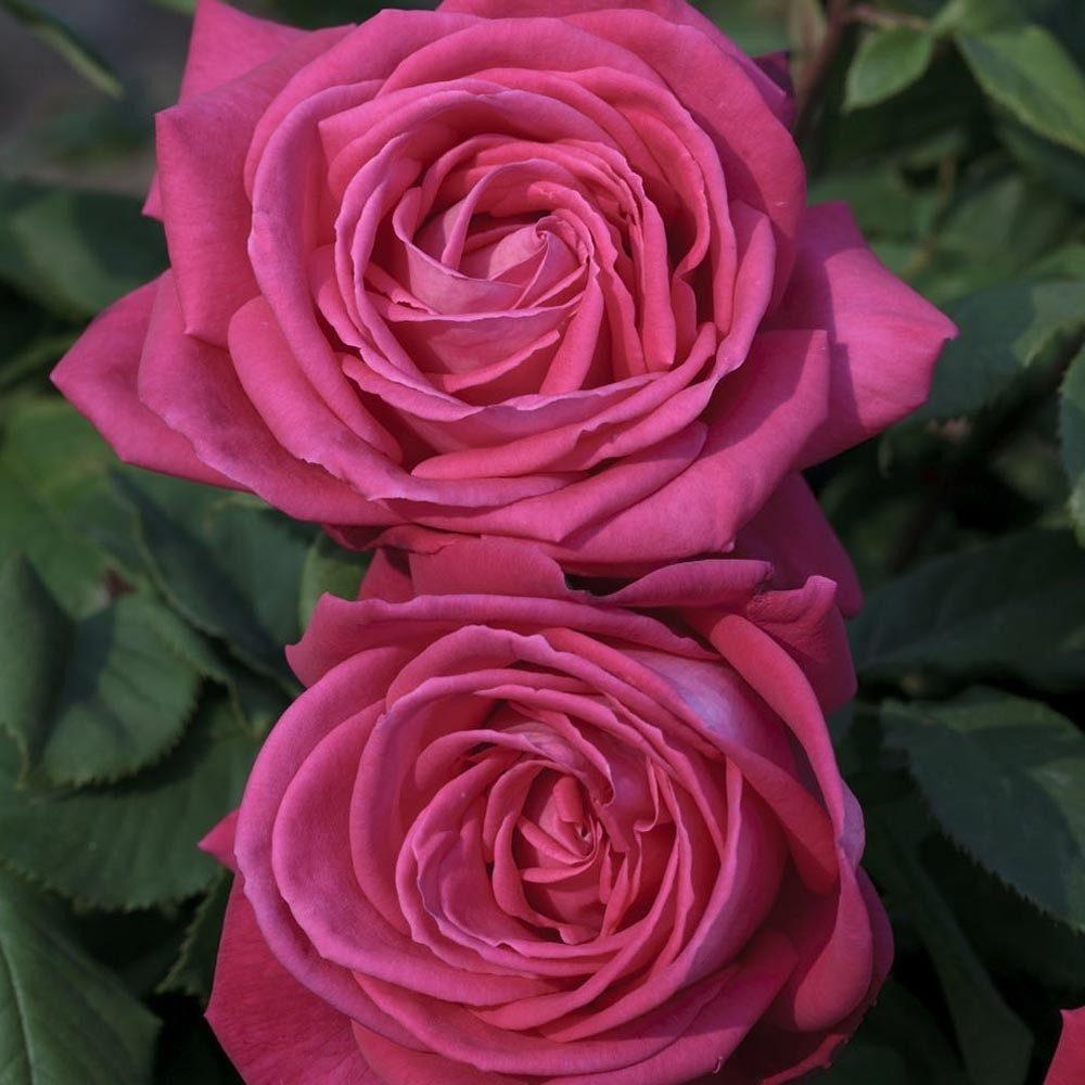расскажем роза данте фото ушли, обветшавшие постройки