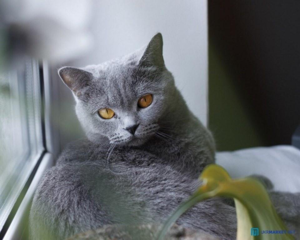 Британский прямоухий кот в картинках