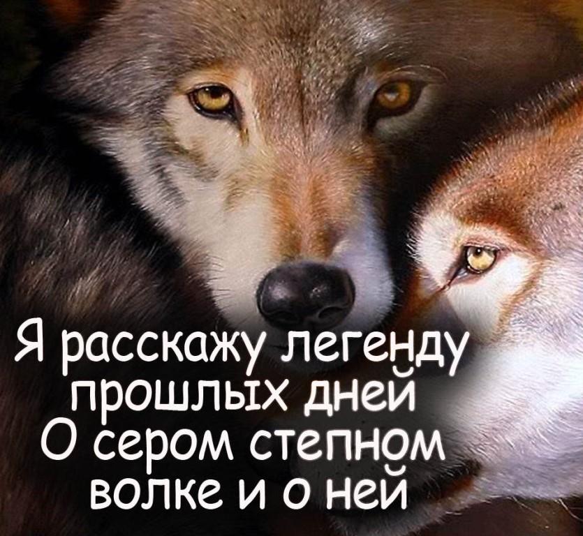 высказывания волков фото и картинки необходимо аккуратно