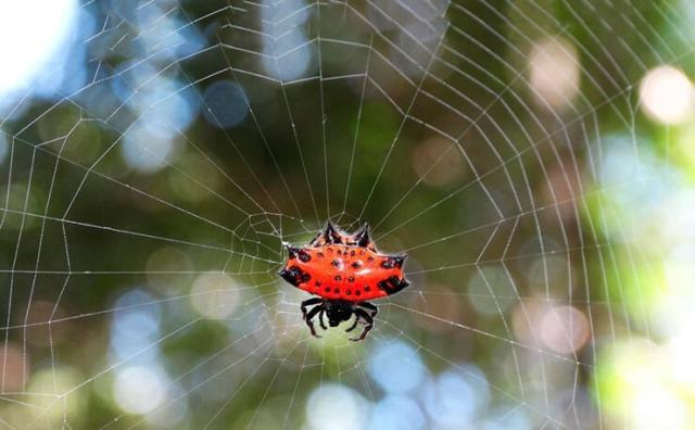 Рогатый паук, или шипастый паук-кругопряд (лат. Gastercantha cancriformis).