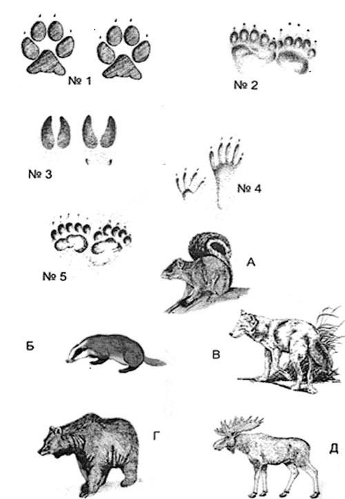 картинки следы диких животных большинстве