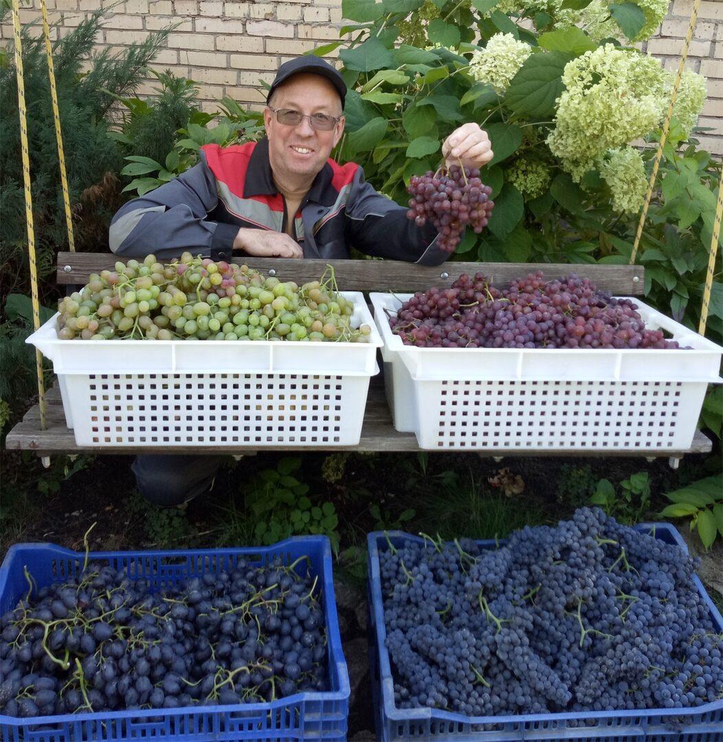 Урожай нашего винограда собран. Ура!