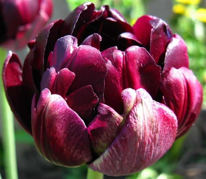 пионовидные тюльпаны сорта и фото зубы это неофициальное