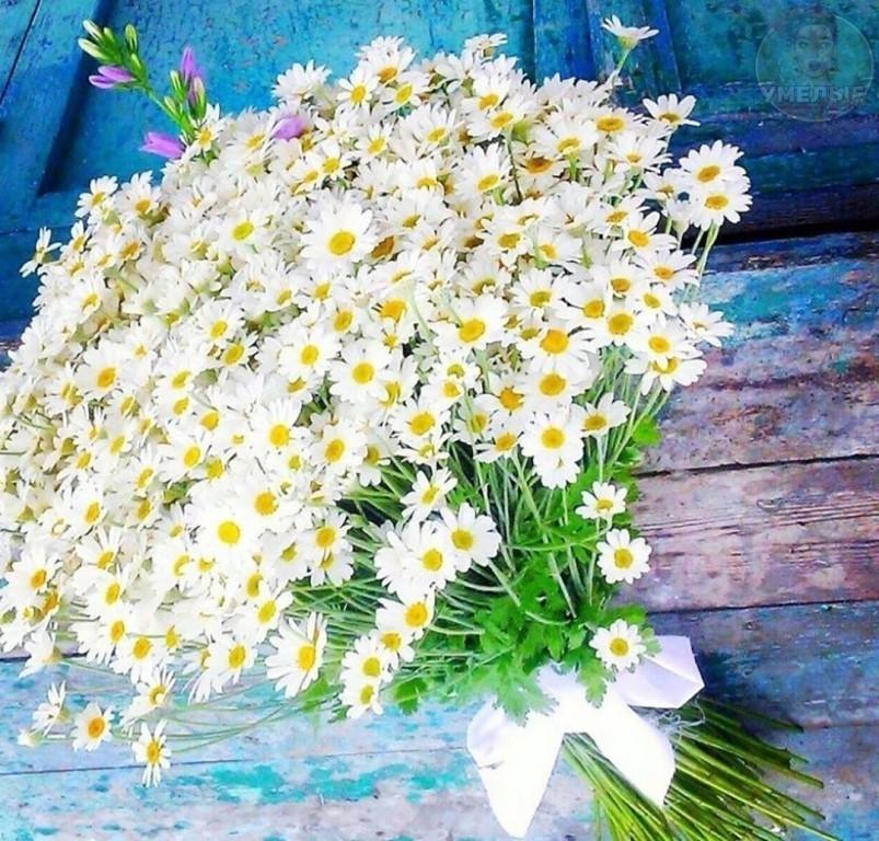 Полевые цветы ромашки белые соберу букет подарю тебе