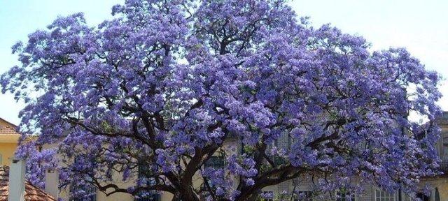 адамово дерево фото комнатное растение германии