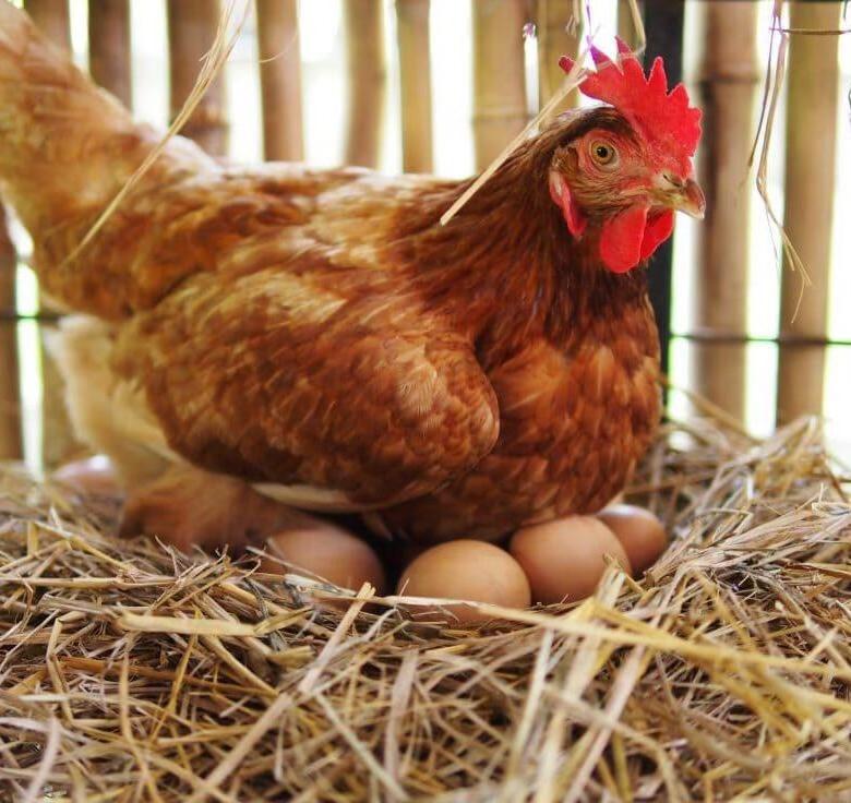 тело тульские курицы фото также
