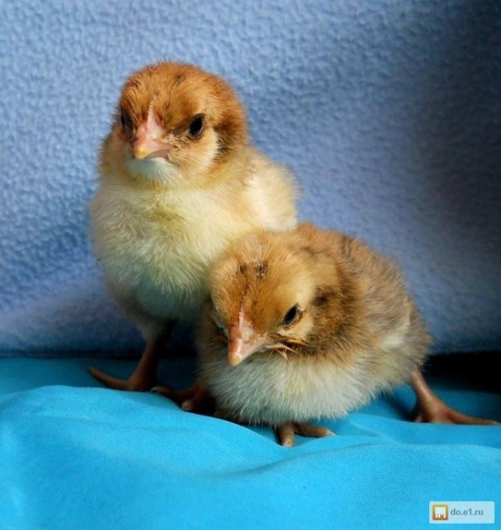 Кучинские цыплята фото