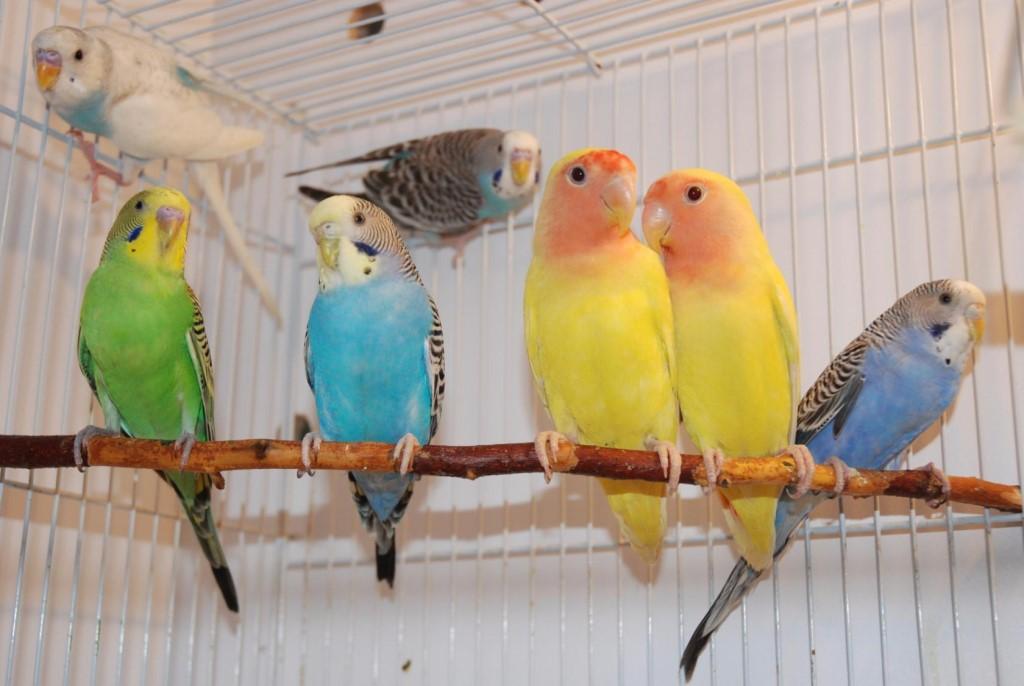 все окрасы волнистых попугаев с фото