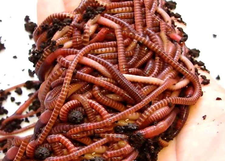 Калифорнийские черви для рыбалки