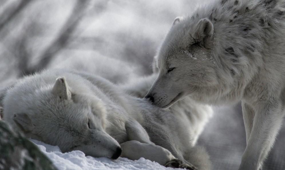 картинки уходящего волка очень