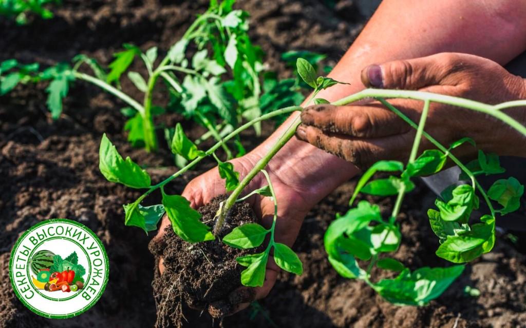 как посадить агератум на рассаду правильно