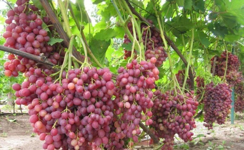 сегодня виноград кишмиш велес описание сорта фото счастью, последнее время