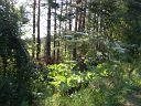 Еду я пермском крае под селением Куеда и вижу вот такую (куеду) выгледит как укроп рост до 4-х м