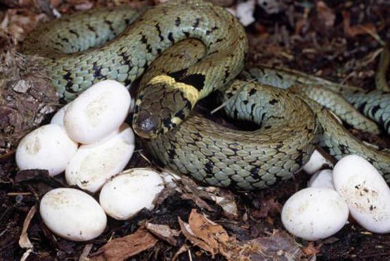 Чему снится нападение гремучей змеи к