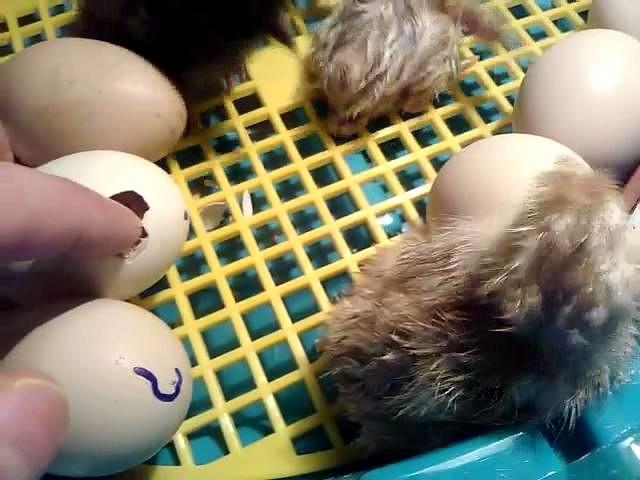 Сопение шлепки яиц фото 541-269
