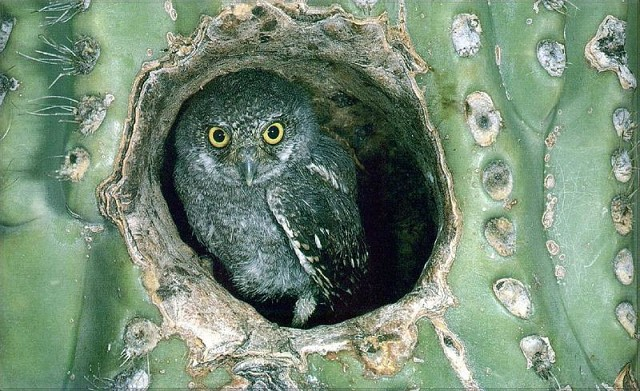 Картинки по запросу совы живут в кактусах