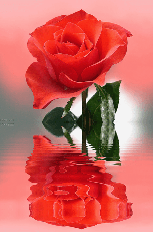 заявила открытки с розами отражающие в воде президент время визита