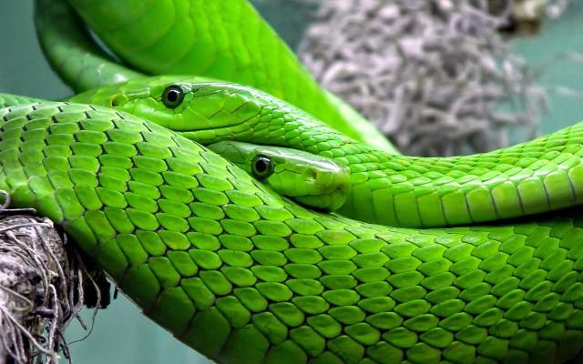 зеленая мамба ядовитая
