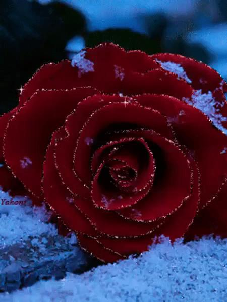 Картинки, гифка розы в снегу