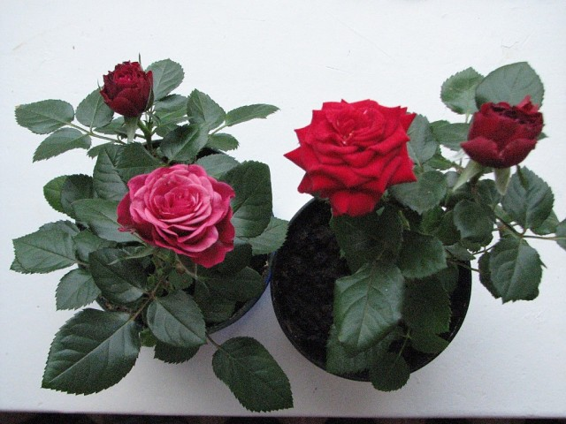 Картинки по запросу растение роза