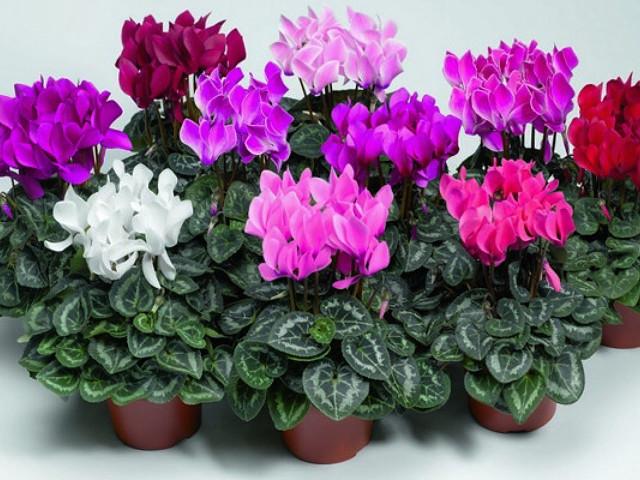Домашние для подходят на тельцов цветы какие