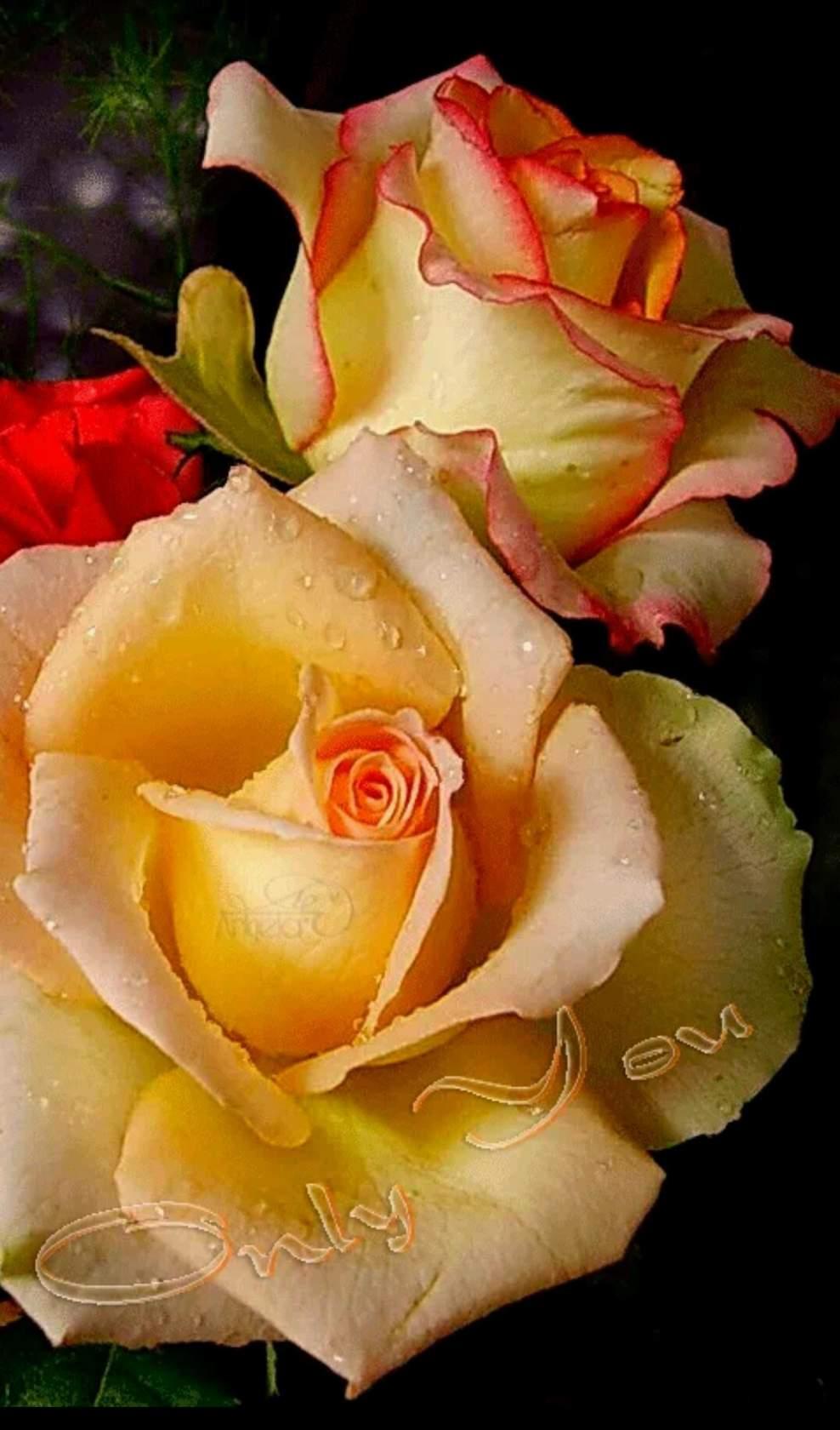 yellow love rose - HD891×1484