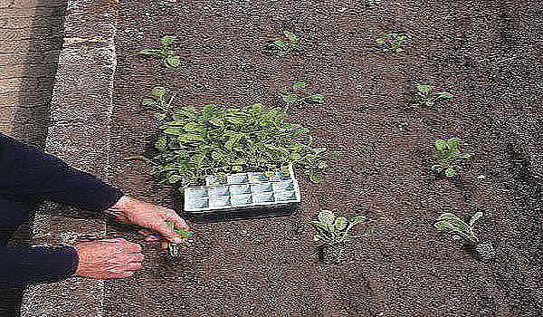 Видео как посадить перец на рассаду