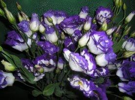 Эустома, лизиантус: секреты успешного выращивания